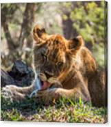 Lion Cub Lick Canvas Print