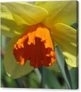Nodding Daffodil Canvas Print