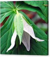 Nodding Trillium Canvas Print