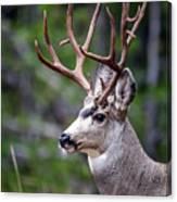 Non-typical Mule Deer Buck Portrait. Canvas Print