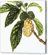 Noni Fruit Art Canvas Print