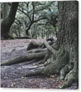 Norfolk Trees Canvas Print