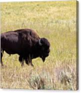 North American Bison- Buffalo In Field  Canvas Print