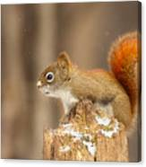 North American Red Squirrel In Winter Canvas Print