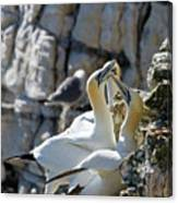 North Atlantic Gannets Canvas Print