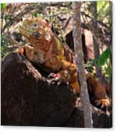 North Seymour Island Iguana In The Galapagos Islands Canvas Print