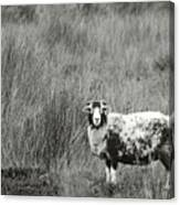 North Yorkshire Moors Sheep Canvas Print