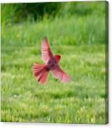Northern Cardinal In Flight Canvas Print