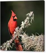 Northern Cardinal In Repose Canvas Print