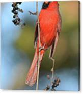 Northern Cardinal With Berry Canvas Print
