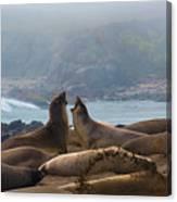Northern Elephant Seals Mirounga Angustirostris Canvas Print