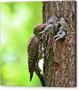 Northern Flicker Family Canvas Print