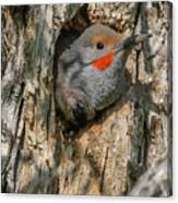 Northern Flicker Pokes His Head Out Canvas Print