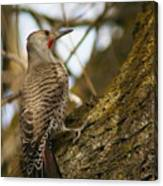 Northern Flicker Woodpecker 1 Canvas Print