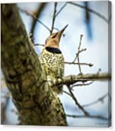 Northern Flicker - Woodpecker Canvas Print
