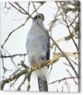 Northern Goshawk Canvas Print