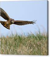 Northern Harrier Hawk Scouring The Field Canvas Print