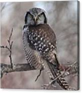 Northern Hawk Owl 9470 Canvas Print