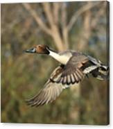 Northern Pintail Tree Canvas Print