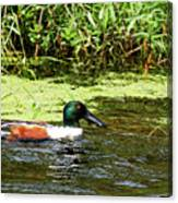 Northern Shoveler Drake Canvas Print
