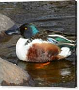 Northern Shoveler Duck Drake Canvas Print