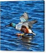 Northern Shoveler Duck Landing Canvas Print