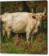 Northumberland Wild Cattle Canvas Print