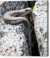 Northwestern Alligator Lizard 2 Canvas Print