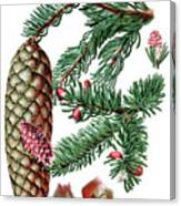Norway Spruce, Pinus Abies Canvas Print