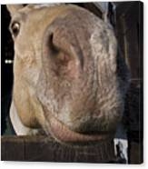 Nosey Canvas Print