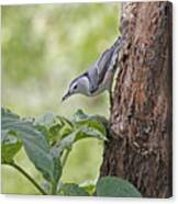 Nuthatch On The Move Canvas Print