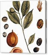 Nutmeg, 1735 Canvas Print