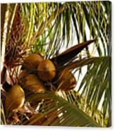 Nuts On Tree  Canvas Print