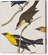 Nuttall's Starling Yellow-headed Troopial Bullock's Oriole Canvas Print