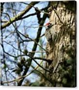 Nuttalls Woodpecker  Canvas Print