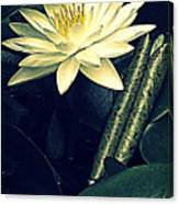 Nymphaea Canvas Print