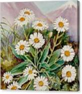 Nz Mountain Daisy Canvas Print