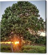 Oak At Sunset Canvas Print