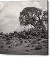 Oak In Rock Field Canvas Print