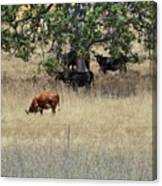 Oak Tree And The Cows Canvas Print