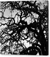 Oak Tree In Winter Detail - Amador County, California Canvas Print