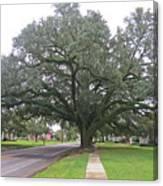 Oak  Tree  Jennings  Louisiana Canvas Print