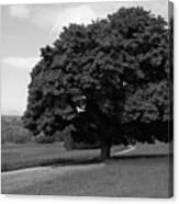 Oak Tree - Killarney National Park Canvas Print