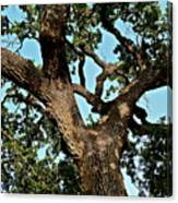 Oak Tree Two Canvas Print
