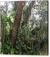 Oak Tree With Spanish Moss Canvas Print
