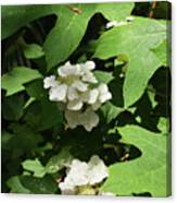 Oakleaf Hydrangea Floral Canvas Print