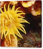 Oange Cup Coral, Tubastraea Coccinea Canvas Print