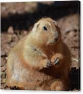Obese Prairie Dog Sitting In A Pile Of Dirt Canvas Print
