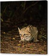 Ocelot Crouching At Night Looking For Food Canvas Print