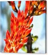 Octillo Flower. Canvas Print